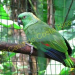 In Costa RIca it is illegal to own any type of parrot, including parakeets and macaws