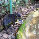 Perla is a peccary or also called a skunk pig