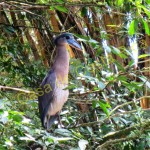This boat-billed heron lives on the property around a large pond