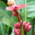 Red bananas are a source of food for bees and many types of birds