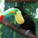 This colorful bird is a keel-billed toucan; 6 different species of toucans are found in Costa Rica