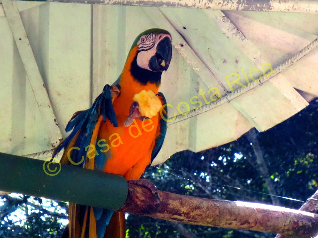 A blue and gold macaw enjoying a piece of apple
