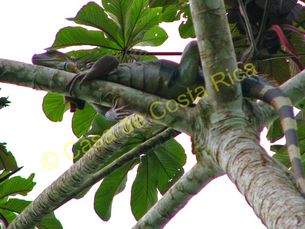 Female iguana hanging out in a tree