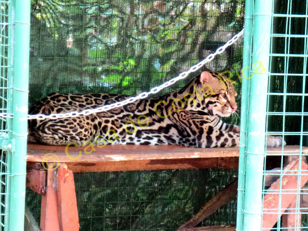 A young ocelot is being rehabilitated and will hopefully be released back into the wild soon