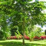 Ylang ylang perfume tree. This tree is the basis for Chanel #5