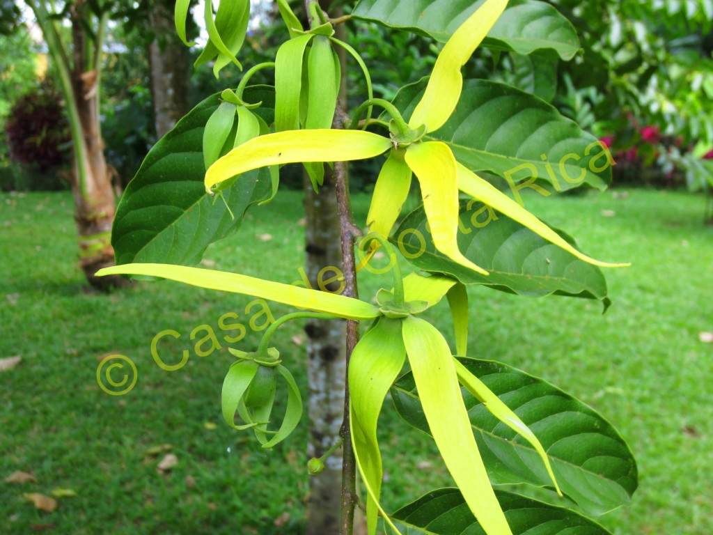 Ylang ylang flowers. You'll want to give these aromatic flowers a smell!