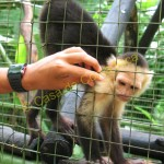 These very intelligent monkeys primarily eat fruit and insects