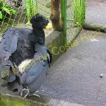 This is Carlitos, a great curassow