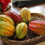 Different colors of the cacao fruit
