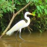Close up of an egret.