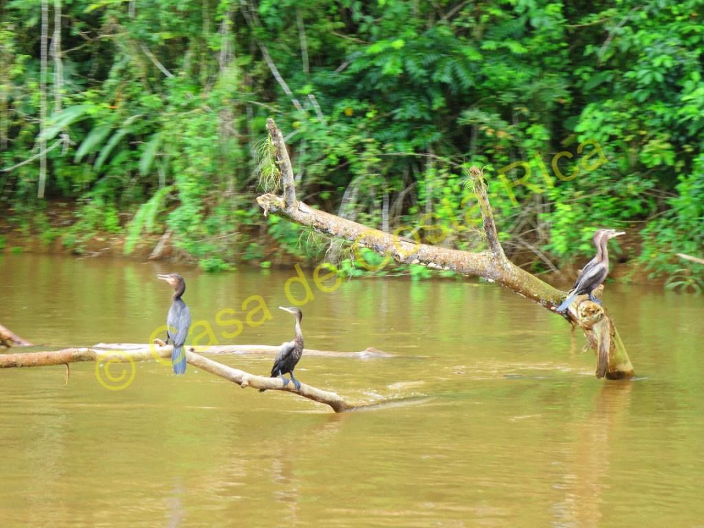 More cormorants!