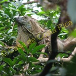 Iguana hiding among the leaves.