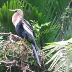 birds in cano negro boat tour