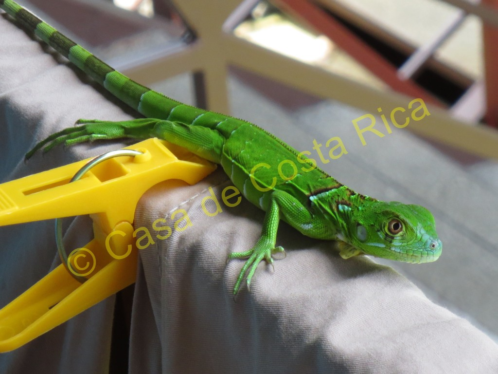Baby iguana hanging out on the laundry