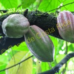 The seeds in the cacao fruit are used to make chocolate.