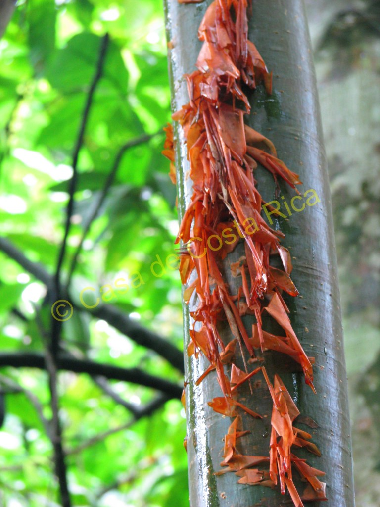 """Nicknamed the """"Tourist Tree"""" because its red and peeling bark looks like the skin of sun burnt tourists."""