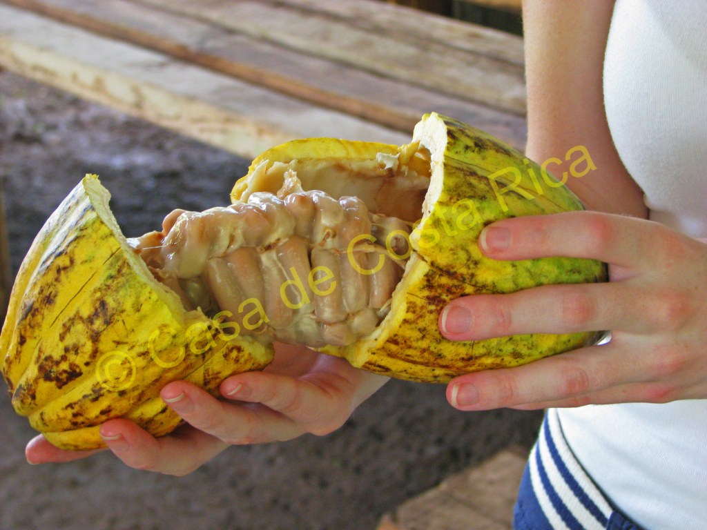 The inside of the cacao fruit is filled with seeds