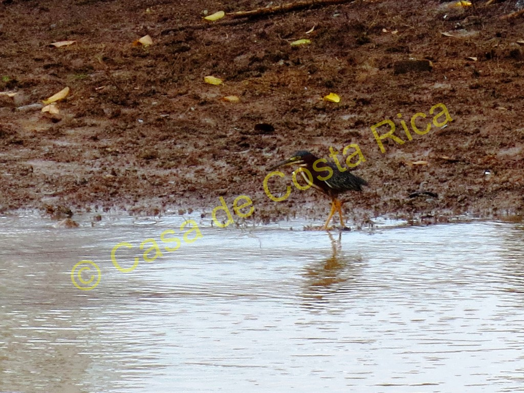 Striated heron.