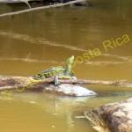 turtle in cano negro boat tour