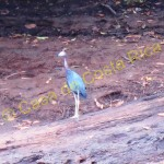 Little blue heron.