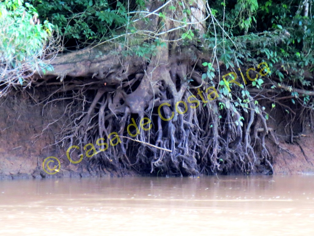 Amazing tree roots on the bank of the river.