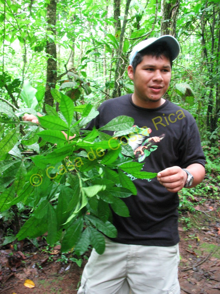 """This plant is called """"hombre grande"""" or Big Man. It is used in teas for stomach problems."""