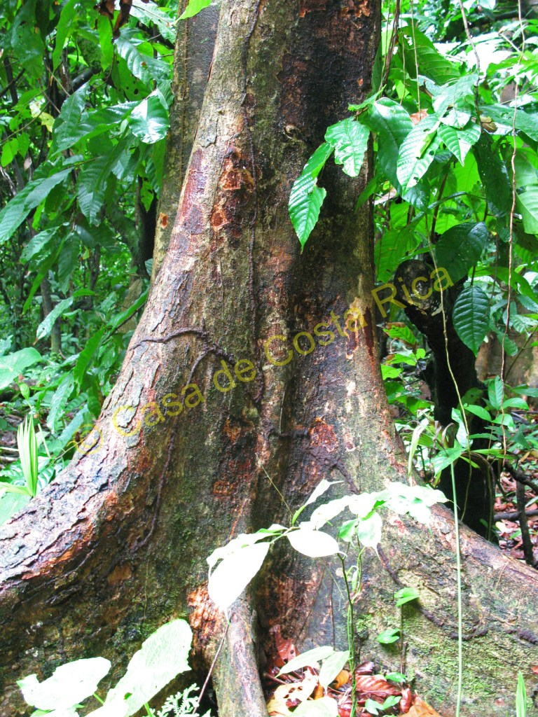 This ceder tree is very old. It is a hard wood and takes many years to grow this size.
