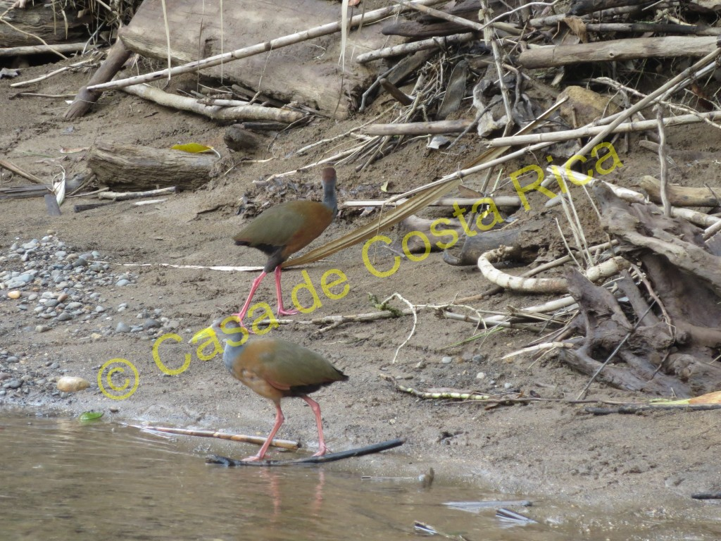 Two grey-necked wood rails exploring.