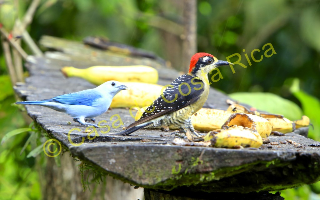 A blue-gray tanager and a red-bellied woodpecker eating bananas from the feeder.