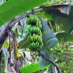 bananas in Secluded Tropical Retreat