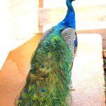 bird in peacock country estate